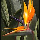 Bird of paradise by Bigart32