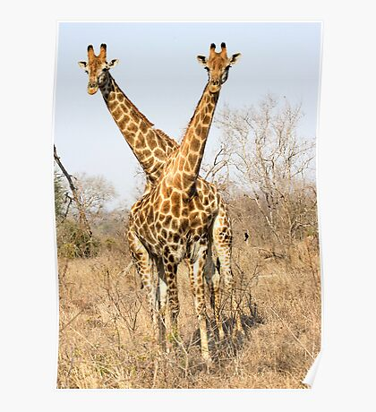 Rare Two Headed Giraffe Poster