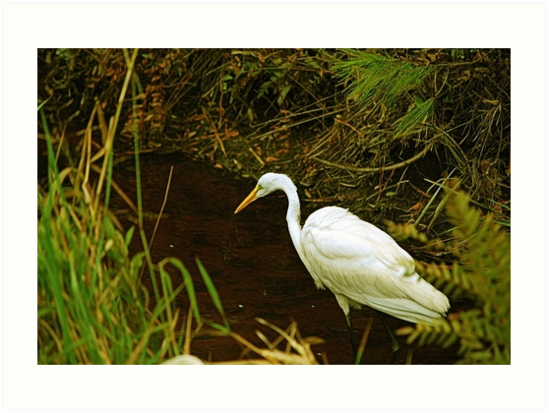 White Heron Looking For Lunch by Bob Sample