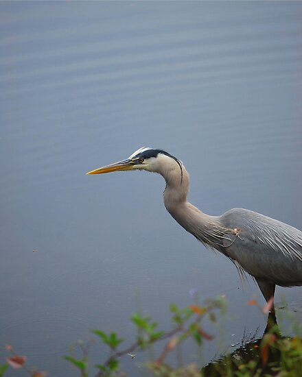 Grey Heron by Bob Sample
