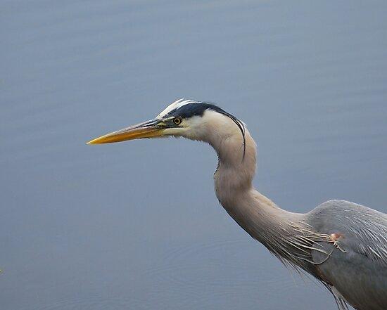 Grey Heron Head Shot by Bob Sample