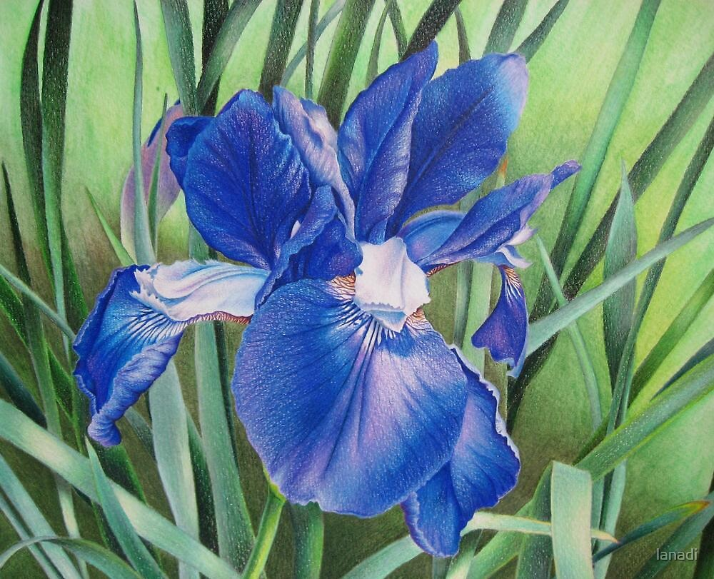 Iris in the wind by lanadi