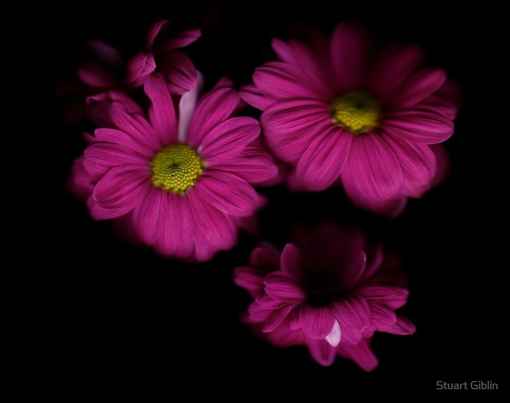Chrysanthemum - One by Stuart Giblin