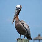 A Brown Pelican Posing by Bob Sample