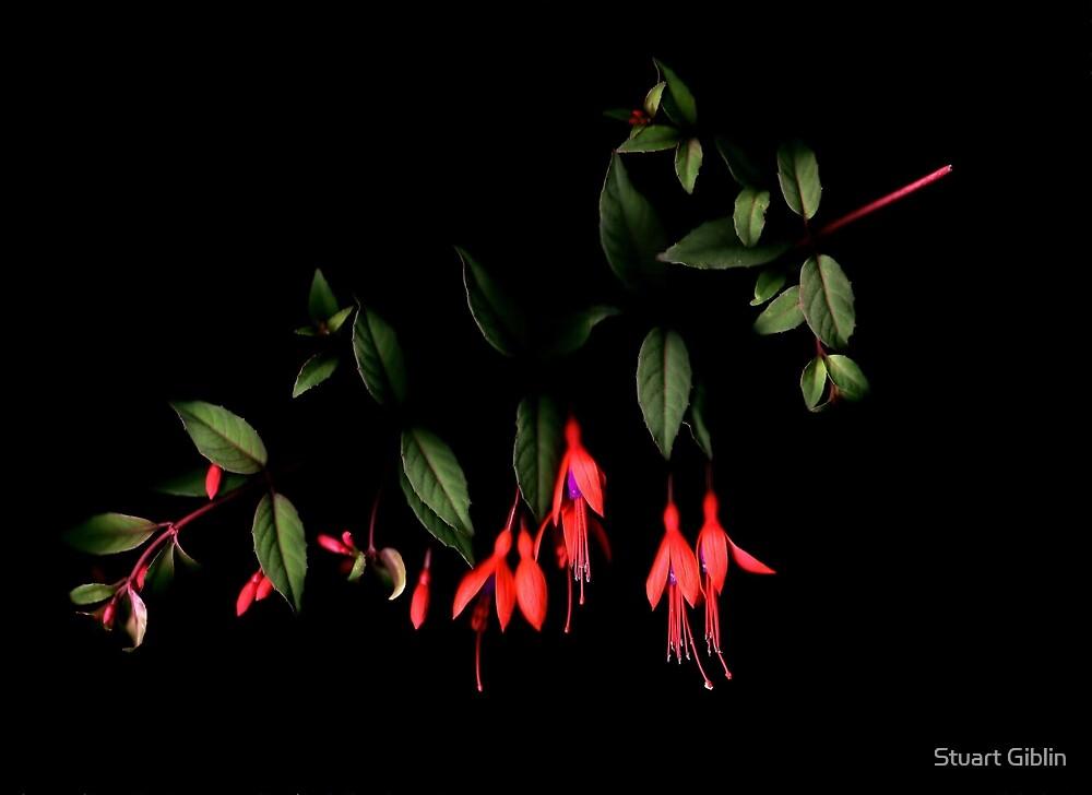 Fuchsia on Dark by Stuart Giblin