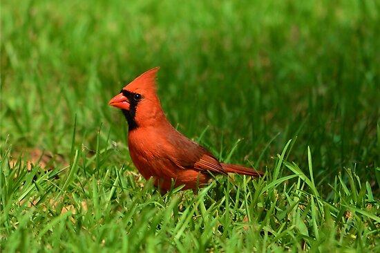 Male Cardinal by Bob Sample
