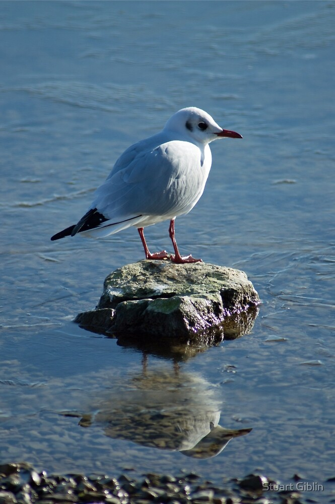 Gull with reflection  by Stuart Giblin