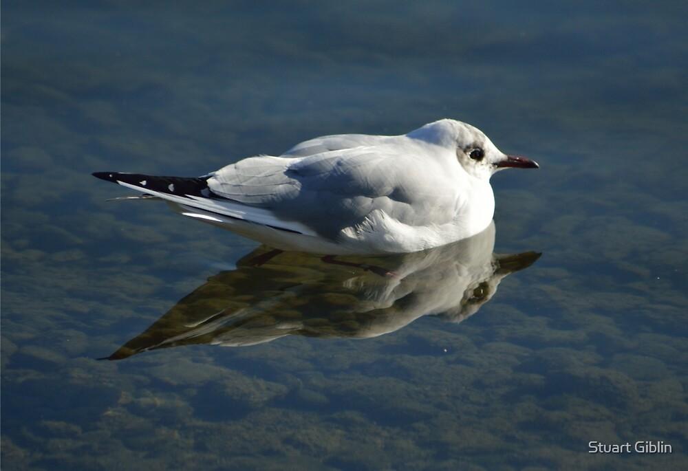 Reflecting Gull by Stuart Giblin