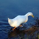 A White Duck Just Taking A Walk by Bob Sample