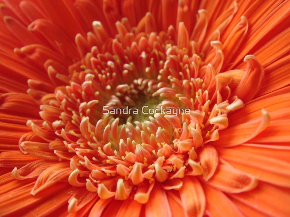 Orange Gerbera by Sandra Cockayne