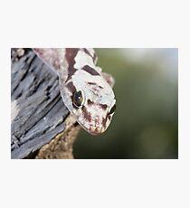 Head On - Robust Velvet Gecko #1 Photographic Print