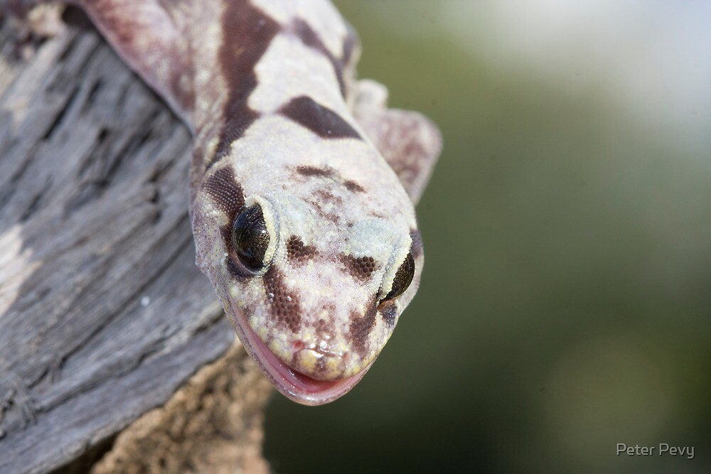 Smiley - Robust Velvet Gecko #2 by Peter Pevy