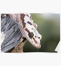 Profile - Robust Velvet Gecko #4 Poster