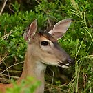 Headshot Of A Whitetail Deer by Bob Sample