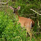 Whitetail Deer Going Home by Bob Sample