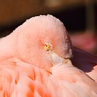 Flamingo by Steve Hunter