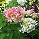 Delicate Pink and White Hydrangea by Susan Savad