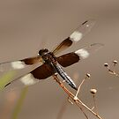 Dragonfly With Transparent Wings by Bob Sample