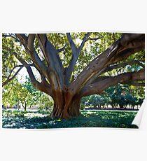 Fig Tree, UWA Poster