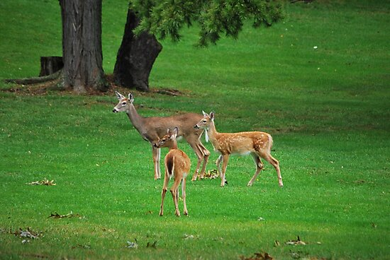 A Whitetail Doe And Her Twin Fawns by Bob Sample