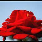 Rose by Rishabh Sharma