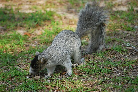 A Southern Fox Squirrel by Bob Sample