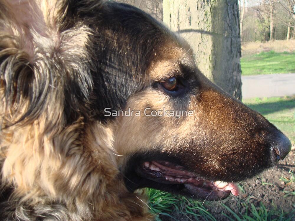 Amber, German Shepherd. by Sandra Cockayne