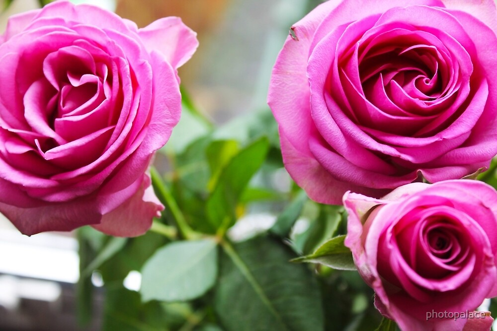 Pink Roses by photopalace