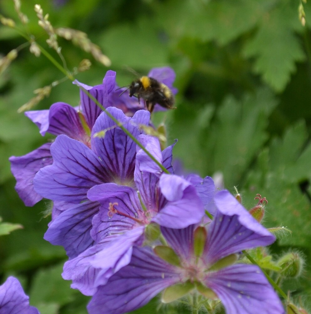 The Bee and Purple Flower by CharlotteEmma