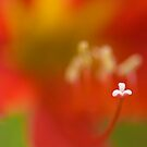 The Macro of Lily by Mukesh Srivastava