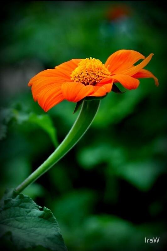 Orange Flower by IraW