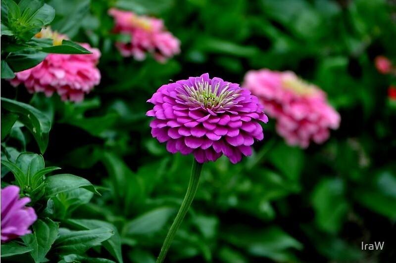 Flowers by IraW