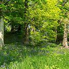Bluebell Wood by Ken Humphreys