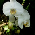 White Orchid by Gregory Colvin