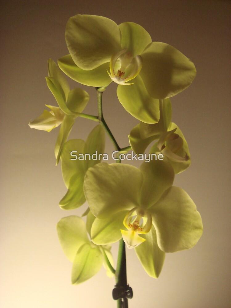 Phalaenopsis by Sandra Cockayne