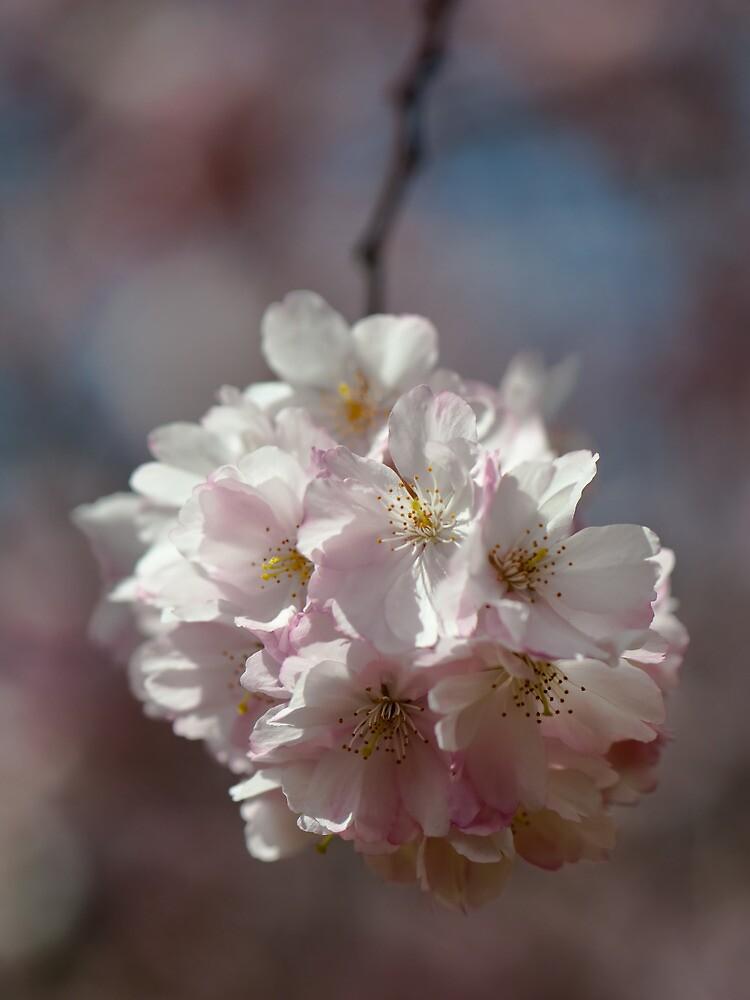 Cherry Blossom by Jean-Pierre Ducondi