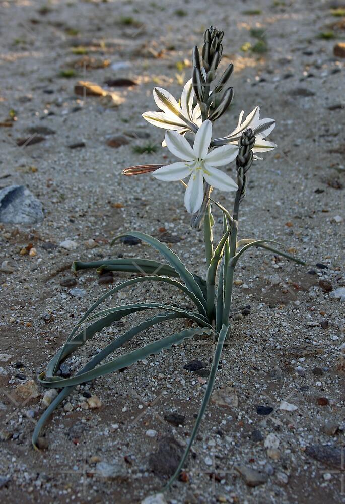 Desert Lily by CarolM