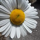 Daisy by Livvy Young