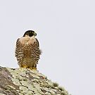 Peregrine Falcon by Nickolay Stanev