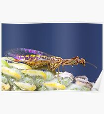 Mantis-fly wing reflection Poster