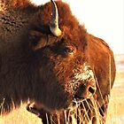 Bison on the Prairie  by lorilee