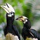 Asian Pied Hornbill by Gethin