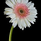 Easter Gerber Daisy by Martie Venter