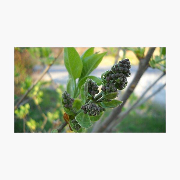 Lilac's Bud Photographic Print