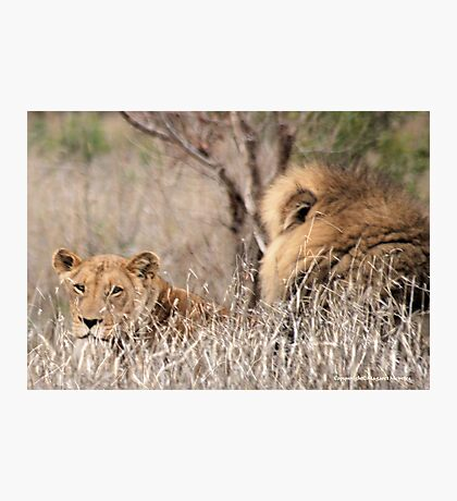 IN A DISTANCE, WELL CAMOUGFLAGED, THE LION AND LIONESS.. Photographic Print