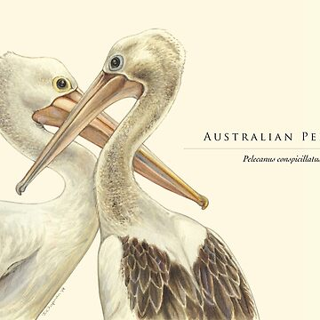 Australian Pelicans - In memory of Craig Lester by RedCloudDesign