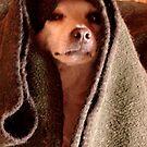 Master Obi-Wan Kenobi Chihuahua  by Susan McKenzie Bergstrom