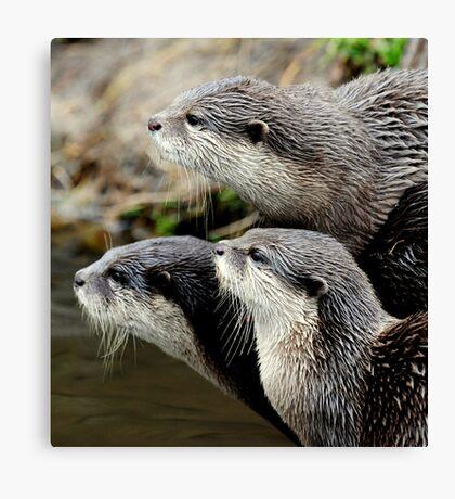 The otter trio Canvas Print