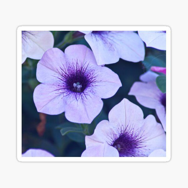 petunia surfinia Sticker