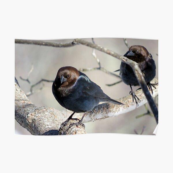 Brown-Headed Cowbird ~ Handsome Pest  Poster